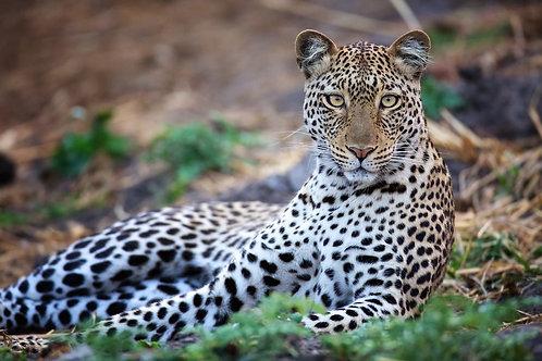 Leopard (Katavi) #LP011