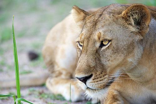 Lioness (Selous) #LW0023