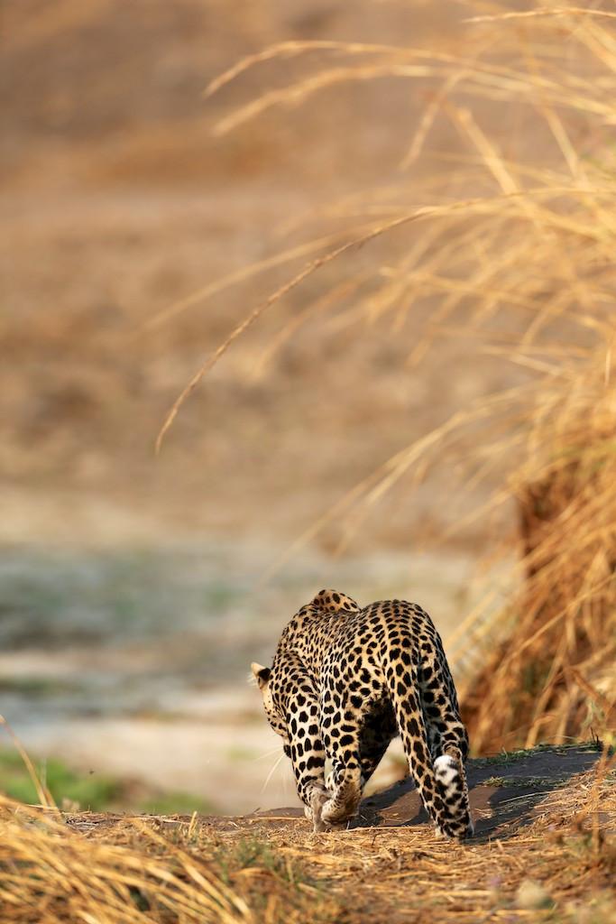 Curios Female Leopard