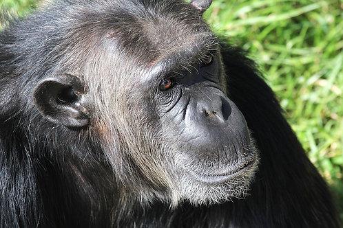 Chimpanzee #DV001