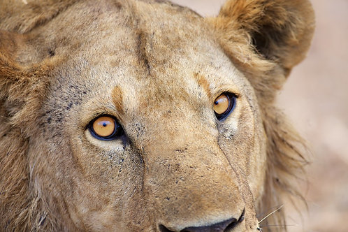 Male Lion's Bright Eyes (Katavi NP) #LW0023
