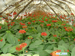 Ginseng in the field