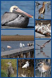 marsh etc birds collage.png