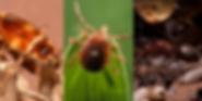Insetos-Pragas-Urbanas-Controle-de-Pragas-Dedetização-Dedrex-(121)4141-4001-Desinsetização-dedetizar-detetizar-Acabar-Com-Aranhas-Carrapatos-Escorpião-Pulgas-Formigas-Cupins-Traças