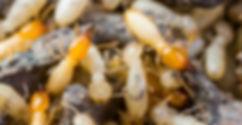 Cupins-De-Solo-Coptotermes-Gestroi-Cupim-de-Chão-Cupim-Na-Parede-Cupinzeiro