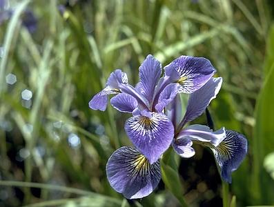 Iris Versicolor L..png