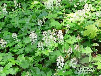 Tiarella_cordifolia 9-12.jpg