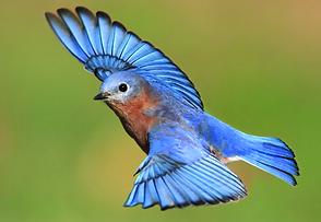 blue bird.png