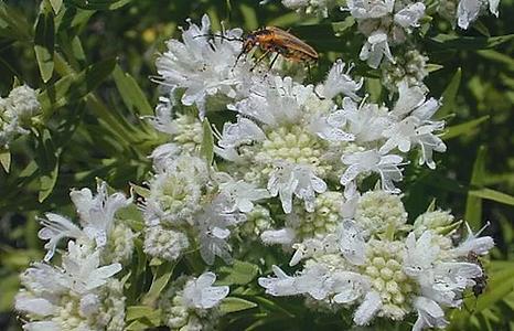 Pycnanthemum muticum.png