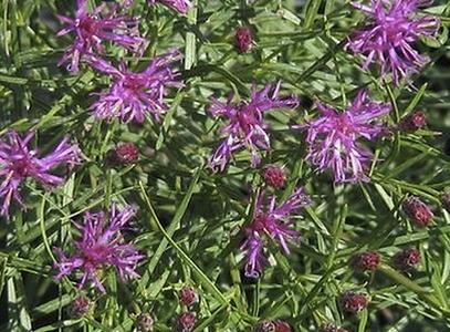 Vernonia lettermannii.png
