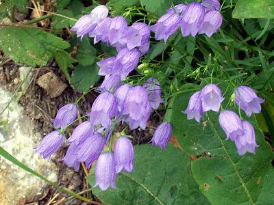 Campanulaceae.jpg