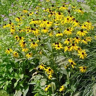 Rudbeckia Goldstrum.png