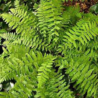 Athyrium Angustum Forma Rubellum.png