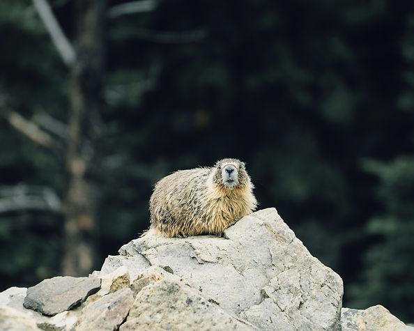 hoary marmot canada bc