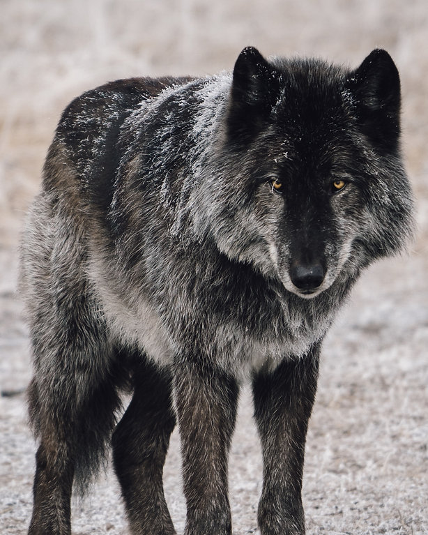 wolf grey wolfdog