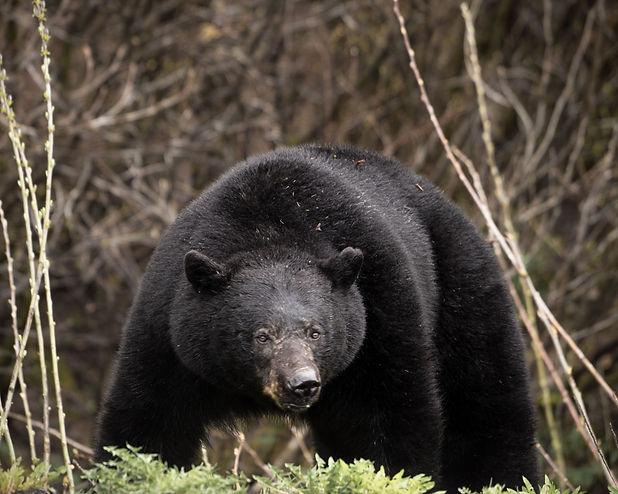 black bear northern bc male spring