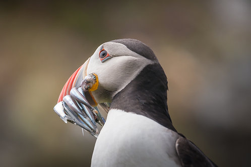 Hungry Puffin