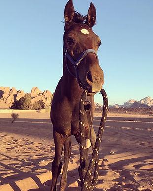 Horse in Wadi Rum