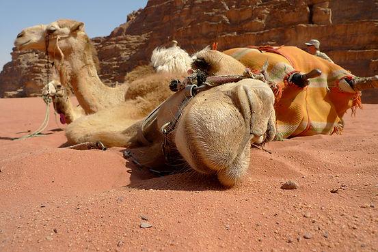 CamelRumklein.jpg