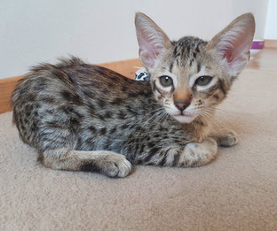 Kitten Savannah Bella Exotic.jpg