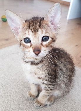 Bella Exotic Savannah Kitten (5).jpg