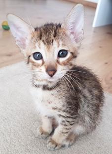 Bella Exotic Savannah Kitten (5).jpg
