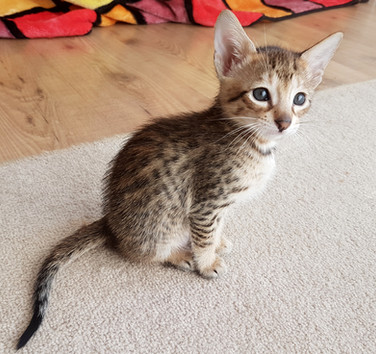 Bella Exotic Savannah Kitten (6).jpg