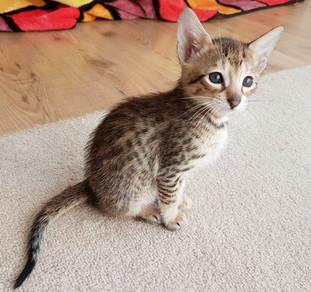 Bella Exotic Savannah Kitten (6).jpg