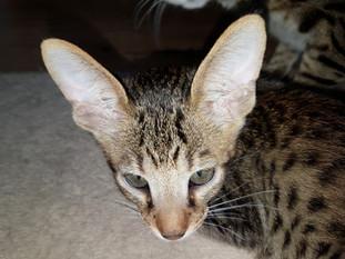Savannah Zucht Bella Exotic (6).jpg