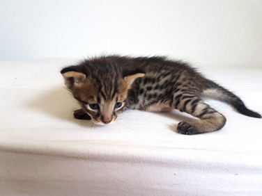 Savannah Kitten, Bella Exotic