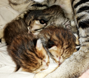Savannah Katzen Zucht Bella Exotic (1).j