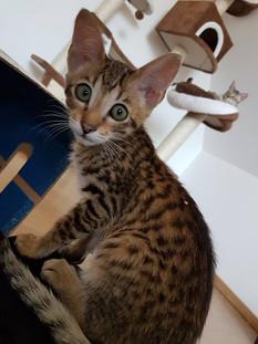 Savannah Kitten Bella Exotic 2.jpg
