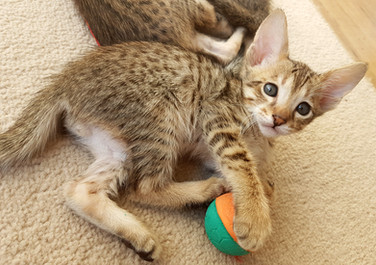 Bella Exotic Savannah Kitten (7).jpg