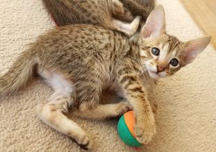 Bella Exotic Savannah Kitten (7).jpg