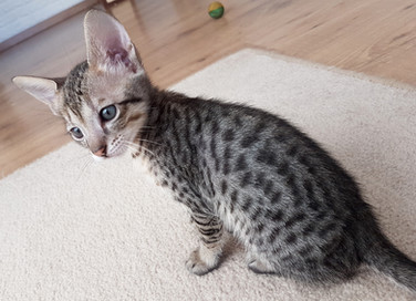Bella Exotic Savannah Kitten (3).jpg