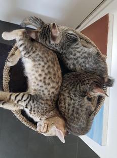 Savannah Kitten SBT