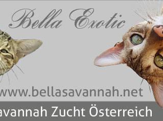 Savannah Zucht Bella Exotic