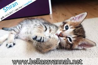 Savannah Kitten Österreich