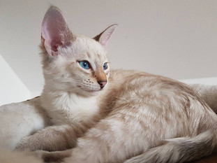 Savannah Kitten Bella Exotic.jpg
