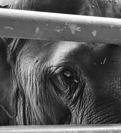 walking among giants | elephant nature park