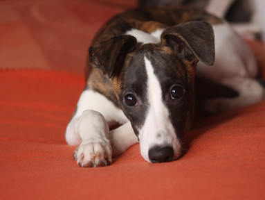 Dog Breed of the Month - Whippet