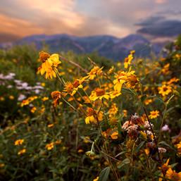 Timp Yellow Flower