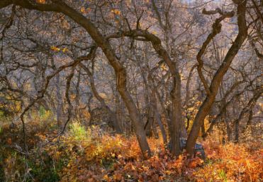 Oak Enchantment