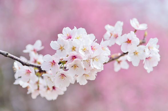 cherry-blossoms-2218781_1920.jpg