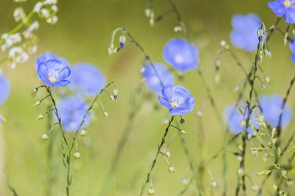 blue-flax-5200811_1920.jpg