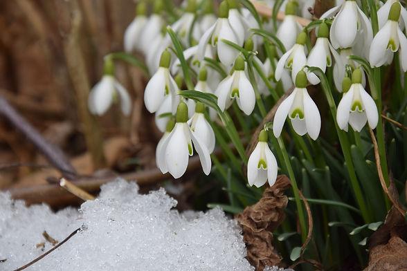 snowdrop-2136964_1920.jpg