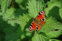 Nettles with butterfly