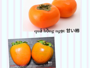 日本の秋の果物「柿」 ベトナムの学生は注意しましょう。Chú ý quả hồng chát khi ăn hồng Nhật Bản!