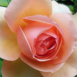A perfect pink rose.