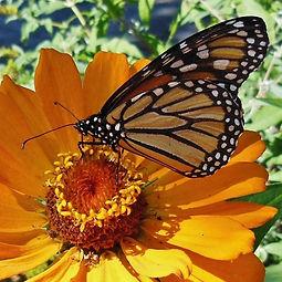 A monarch butterfly inspects a zinnia.
